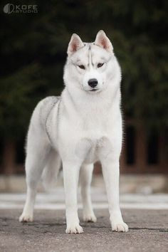 Husky: How dogs desended from wolves