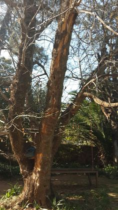 Bee removal in Johannesburg bees  removed in tree in parktown