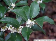 Tea Olive - My favorite bush in the South! Intensely fragrant. Smells like jasmine and orange blossoms.  Blooms almost all year long. Fall, winter & Spring.