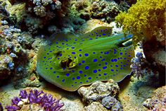 blue spots stingray. by abdullah m alhamad