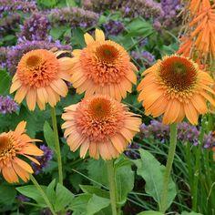 Hardy Perennials, Flowers Perennials, Planting Flowers, Flower Plants, Orange Flowers, Cut Flowers, Colorful Flowers, Meadow Flowers, Spring Flowers