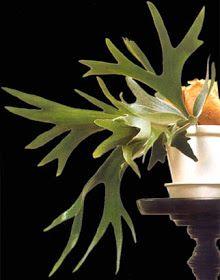 Plantas interior Jardineria: CUERNO DE CIERVO (PLATYCERIUM CIFURCATUM)