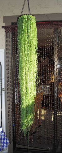 "rowleyanus ""String of Pearls"" Senecio rowleyanus, or String of Pearls succulent, doing its Rapunzel thing. rowleyanus, or String of Pearls succulent, doing its Rapunzel thing. Air Plants, Potted Plants, Cactus Plants, Garden Plants, Indoor Plants, Fence Garden, Cacti And Succulents, Planting Succulents, Planting Flowers"