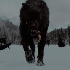 Twilight Breaking Dawn, Breaking Dawn Part 2, Twilight Wolf, Twilight Saga, Great Movies, Wild Animals, Enchanted, Medieval, Aesthetics