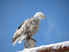 The leucistic bald eagle has once again found its way back to the Klamath Basin. This majestic eagle has returned each year for the past few years to the Klamath Basin during the winter months. Photo Credit: Jim Donaldson