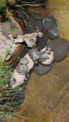 Mis Tortugas de agua