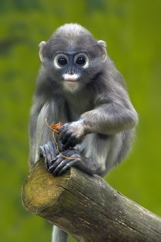 The eyes of a child - Dusky Langur by Mik Peach