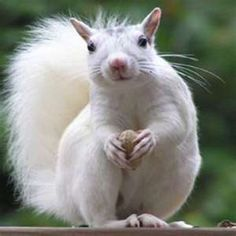 white squirrel brevard nc - NO, it's not an albino! Cute Creatures, Beautiful Creatures, Animals Beautiful, Animals And Pets, Baby Animals, Cute Animals, Wild Animals, Squirrel Pictures, Animal Pictures