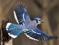 BLUE JAY in flight (Cyanocitta cristata) ©Jim Ridley The Blue Jay is a bird native to North America. It is resident through most of eastern...
