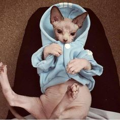 Sphynx cat is a special breed of cats that constantly need warmth. I present to you 15 warm clothes for Sphynx cats. I Love Cats, Crazy Cats, Cool Cats, Bad Cats, Puppies And Kitties, Cats And Kittens, Gato Sphinx, Beautiful Cats, Animals Beautiful