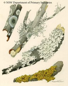 Illustration of Various Lichens Lecanorales by Margaret Senior.  From the collections of the New South Wales Department of Primary Industries, Australia.