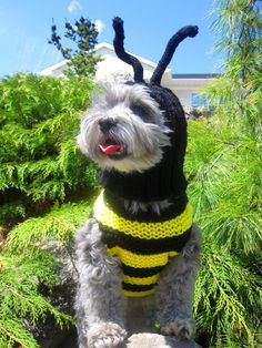 Our cute little bumble bee dog wearing his couch potato sweater and hat.   #dog sweater#bumble bee#hand knit#dog clothing#custom dog clothes#cute dog#dog accessories#maltese#poodle#yorkie#dog coat#dog jumper https://www.etsy.com/listing/228193834/dog-sweater-hand-knit-dog-sweaterall?ref=shop_home_active_1