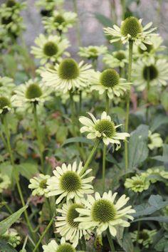De Tuinen van Appeltern - Plantenencyclopedie - Echinacea 'Jade' - Zonnehoed