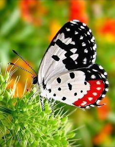 ✯ Red Pierrot (Talicada nyseus)