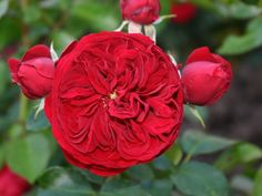 Red Riding Hood Fairy Tale rose, Palatine Roses