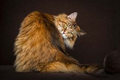 Robert Sijka, a Hong Kong-based photographer, shed new light on one of the most beloved creatures on the Internet, cats. He focuses his attention on the Maine Coon, the largest breed of domesticated felines.