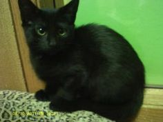 Duska is a Domestic Short Hair.  She is just a couple months old and full of life.  She is a feisty girl who likes to play. http://www.petfinder.com/petdetail/24498588#