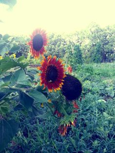 More sunflowers.