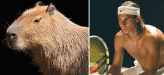 Wimbledon 2015: Amazing pictures show Rafael Nadal's striking resemblance to Capybaras