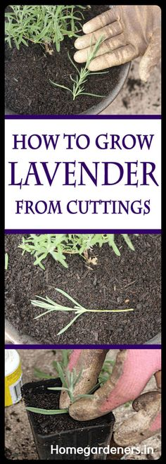 Herbs Gardening How to Grow Lavender Indoors - The Ultimate care guide for growing Lavender Indoors Growing Lavender Indoors, Growing Herbs, Planting Lavender Outdoors, Growing Vegetables, Organic Gardening, Gardening Tips, Indoor Gardening, Kitchen Gardening, Gardening Quotes