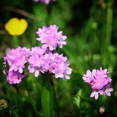Flora på Helnæs  #tv2vejret #fyn #nature #visitdenmark #naturelovers #natur #denmark #danmark #dänemark #landscape #nofilter #assens #mitassens #opdagdanmark #fynerfin #assensnatur #vielskernaturen #visitassens #instapic #sea #seatroutfishing #sonnenschein #picoftheday #may #forår #flora