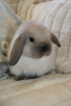 Mini Lop   Mini Lop Bucks - Elstead Rabbit Stud Tasmania