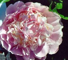 Adonis--mid late bloomer