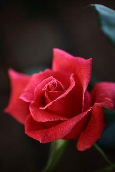 Red Rose : @ 我夢