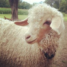 Angora goat - most efficient fiber-producing animal. It's fiber coarse with age so it's most valuable from younger goats. Kept under ideal conditions, these goats' durable and soft mohair is money in the bank. They have a high level of production, yielding 20 to 25 percent of their body weight each year in soft, durable mohair