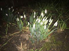 Snežienky krásny kvet. A už ich máme aj tento rok.