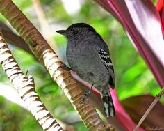 The Variable Antshrike (Thamnophilus caerulescens) is about 15 cm (5.5 inches) in length. They are common and distributed in a wide range that includes the eastern Andes of Peru and Bolivia, eastern Brazil, Uruguay, Paraguay and northern Argentina. The Brazilian name for this bird is Choca-da-Mata. They forage for insects in the understory of forests. This image of a male Variable Antshrike was taken 14 May 2016 at Parque Nacional do Itatiaia, RJ, Brazil.