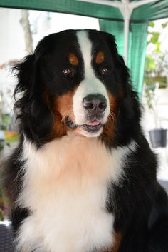 Bernese Mountain Dog's have such a beautiful signature look.