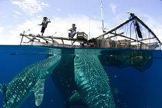 The Whale Sharks of Cenderawasih Bay, West Papau