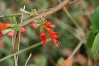Woodfordia - La woodfordia est une plante médicinale impliquée dans la médecine traditionnelle ayurvédique, elle est connue sous l'appellation sanskrit dhataki, elle agit principalement sur tous les maux et troubles du quotidien. La woodfordia est une plante stimulante du système nerveux central, elle a... http://www.complements-alimentaires.co/wp-content/uploads/2015/10/Woodfordia_Woodfordia_fruticosa.jpg - Par Nathalie sur Compléments alimentaires  #Lesplantesde