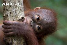 There are about 5000 mammals located at different places around planet earth. Some are more familiar. Orangutan Monkey, Bornean Orangutan, Orangutans, Primates, Mammals, Flying Lemur, Golden Bamboo, Mountain Gorilla, Baboon