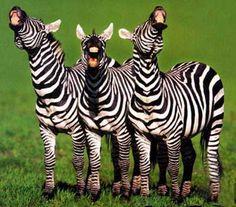 Zebra laughter
