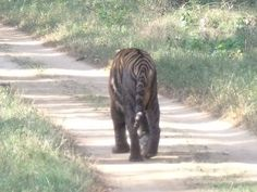 Tamsin & Cooke: Second Tiger Sighting