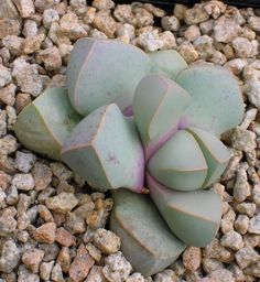 Lapidaria margaretae - In Vegetative-state