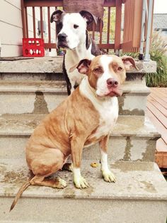 Rude things people say to Pittie owners when we walk down the street with our Pit Bulls.