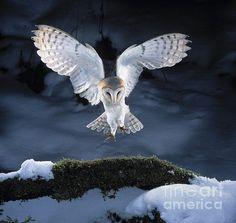 Barn owl landing on branch - View amazing Barn owl photos - Tyto alba - on Arkive Owl Bird, Bird Art, Pet Birds, Owl Photos, Owl Pictures, Beautiful Owl, Animals Beautiful, Owl Artwork, Tier Fotos