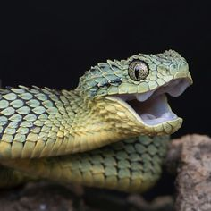 Cute Reptiles, Reptiles And Amphibians, Snake Information, Beautiful Creatures, Animals Beautiful, Japanese Snake Tattoo, Animals And Pets, Cute Animals, Anatomy Sculpture
