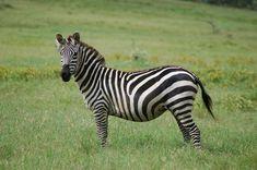 If the rumor is valid it will hit social media: New Google Zebra Update Attacks Social Marketing....Be aware