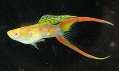 Albino Guppy Fish  The Albino guppy shows the recessive albino phenotype trait.