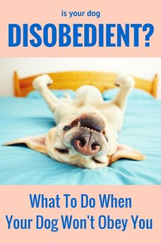 Is your dog disobedient? Here's what to do if your dog won't obey you.