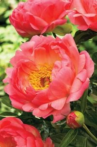 Coral Sunset Peony    Double Peony-fragrant  Bloom time: May-July  Height: 3'  Light: Sun/shade  Hardy Zone: 3a-9b