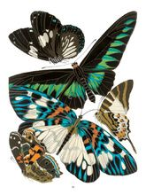 DoverPictura - Seguys Decorative Butterflies and Insects