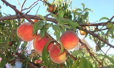 Pfirsichbaumschnitt
