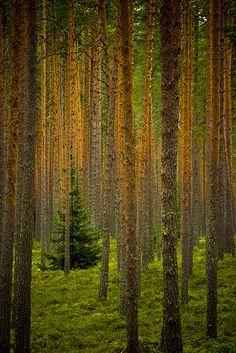 Wet, nordic wood