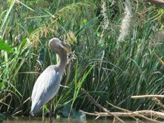 Great Blue Heron caught a fish!  Swamps of Louisiana