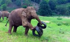 Too cute! | Clumsy Baby Elephants Learn the Hard Way (Video 2:20 )
